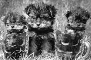 Three Yorkshire Terrier puppies by Mirrorpix