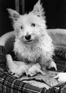 Kelly the Highland Terrier by Mirrorpix