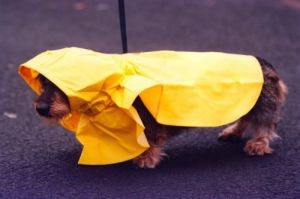 Toffy the miniture Dachshund by Mirrorpix