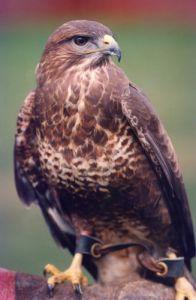 A buzzard by Mirrorpix