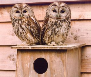 Juvenile owls by Mirrorpix