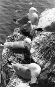 Kittiwakes nesting with their young by Mirrorpix