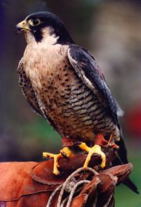 A Peregrine Falcon by Mirrorpix
