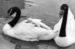 Young cygnet by Mirrorpix