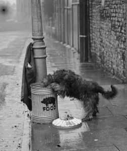 Dog carrying pig food to pig bin by Mirrorpix