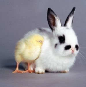 Chicks and rabbit comfort each other by Mirrorpix