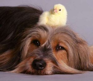 Chicks sitting on a dogs head by Mirrorpix