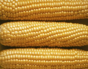 Zea mays, Sweetcorn by Jess Koppel