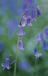 Hyacinthoides non-scripta, Bluebell - English bluebell by John Bellars