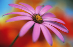 Osteospermum, Osteospermum by Mike Bentley