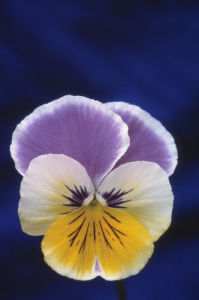 Viola wittrockiana, Pansy by Mike Bentley
