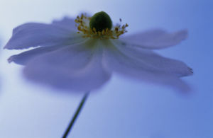 Anemone x hybrida 'Honorine Jobert', Anemone by Mike Bentley