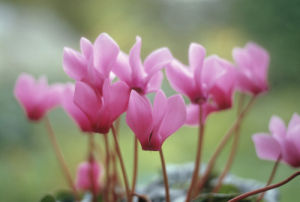 Cyclamen by Mike Bentley