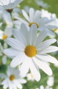 Leucanthemum vulgare, Daisy - Ox-eye daisy by Mike Bentley