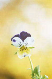 Viola tricolor, Heartsease by Mike Bentley