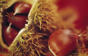 Castanea sativa, Chestnut - Sweet chesnut by Mike Bentley