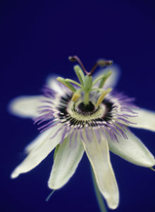 Passiflora caerulea, Passion flower by Martin O'Neill