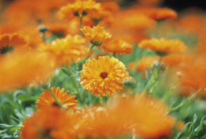 Calendula officinalis, Marigold by Michael Peuckert
