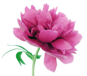 Paeonia officinalis 'rubra plena', Peony by Nic Miller
