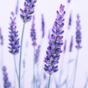 Lavandula, Lavender by Nic Miller