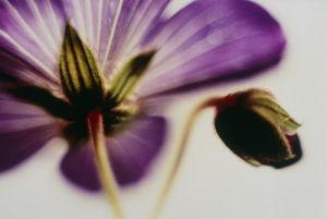 Geranium, Cranesbill by Paul Debois