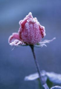 Rosa, Rose by Paul Debois