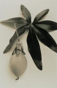 Passiflora caerulea, Passion flower by Paul Debois