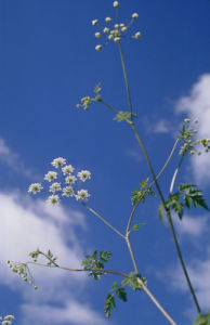 Anthriscus sylvestris, Cow parsley by Richard Freestone