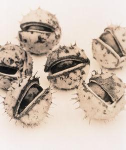 Aesculus hippocastanum, Horse chestnut conker by Richard Freestone