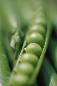 Pisum sativum, Pea by Richard Freestone