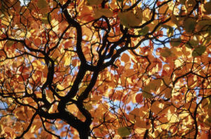 Fagus sylvatica, Beech by Rob Matheson