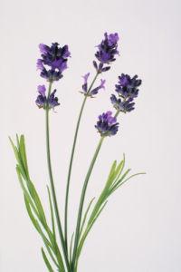 Lavandula augustifolia, Lavender by Tim Smith
