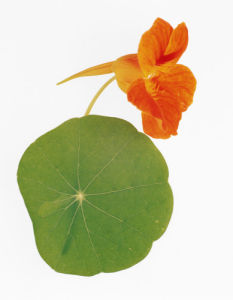 Tropaeolum majus, Nasturtium by Tim Smith