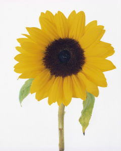 Helianthus annus, Sunflower by Tim Smith
