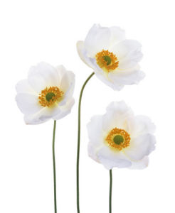 Anemone x hybrida 'Honorine Jobert', Anemone - Japanese anemone by Tim Smith