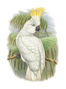 Cacatua Ophthalmica I by William Hart