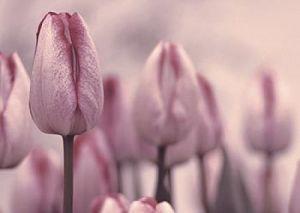 Les Tulips by Katja Marzahn