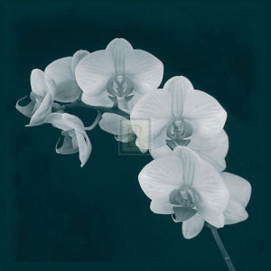 Orchid Illusion II by Sasha Blake