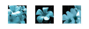 Blue Plumeria by Tony Koukos