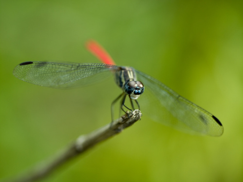 Red Tail Dragon Fly by Assaf Frank