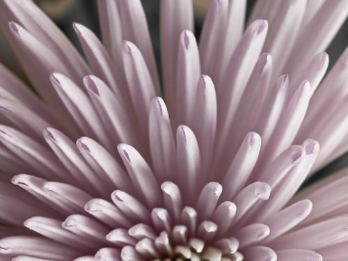 Close-up of Chrysanthemum flower by Assaf Frank