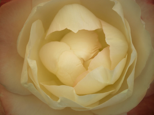 Extreme close-up of rose flower by Assaf Frank