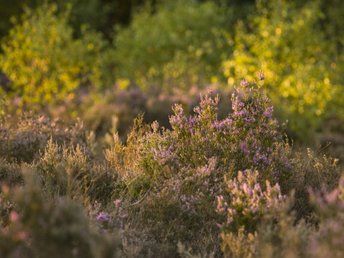 Heather blossom at dusk by Assaf Frank