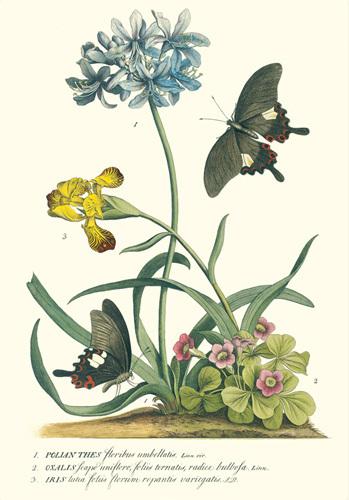 Polianthus, Oxalis and Iris by Georg Dionysus Ehret