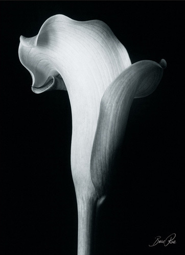Arum Lily IV by Bruce Rae