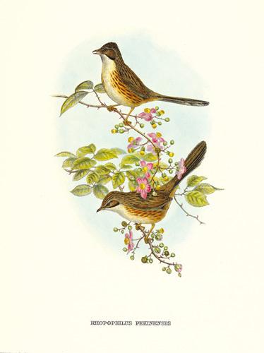 Rhopophilus Pekinensis by John Gould