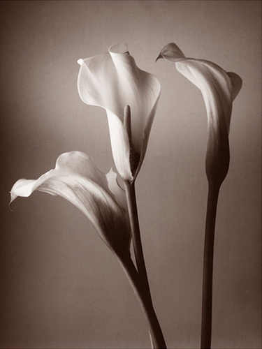 Calla Lily by Bill Philip