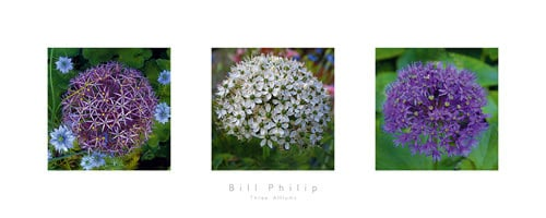 Three Alliums by Bill Philip