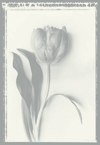 Tulip Impression by Bill Philip