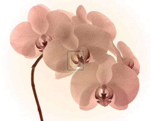 Orchid Dawn II by Katja Marzahn